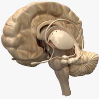 brain 3d models