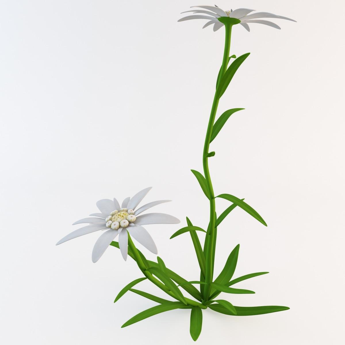 Edelweiss Flower