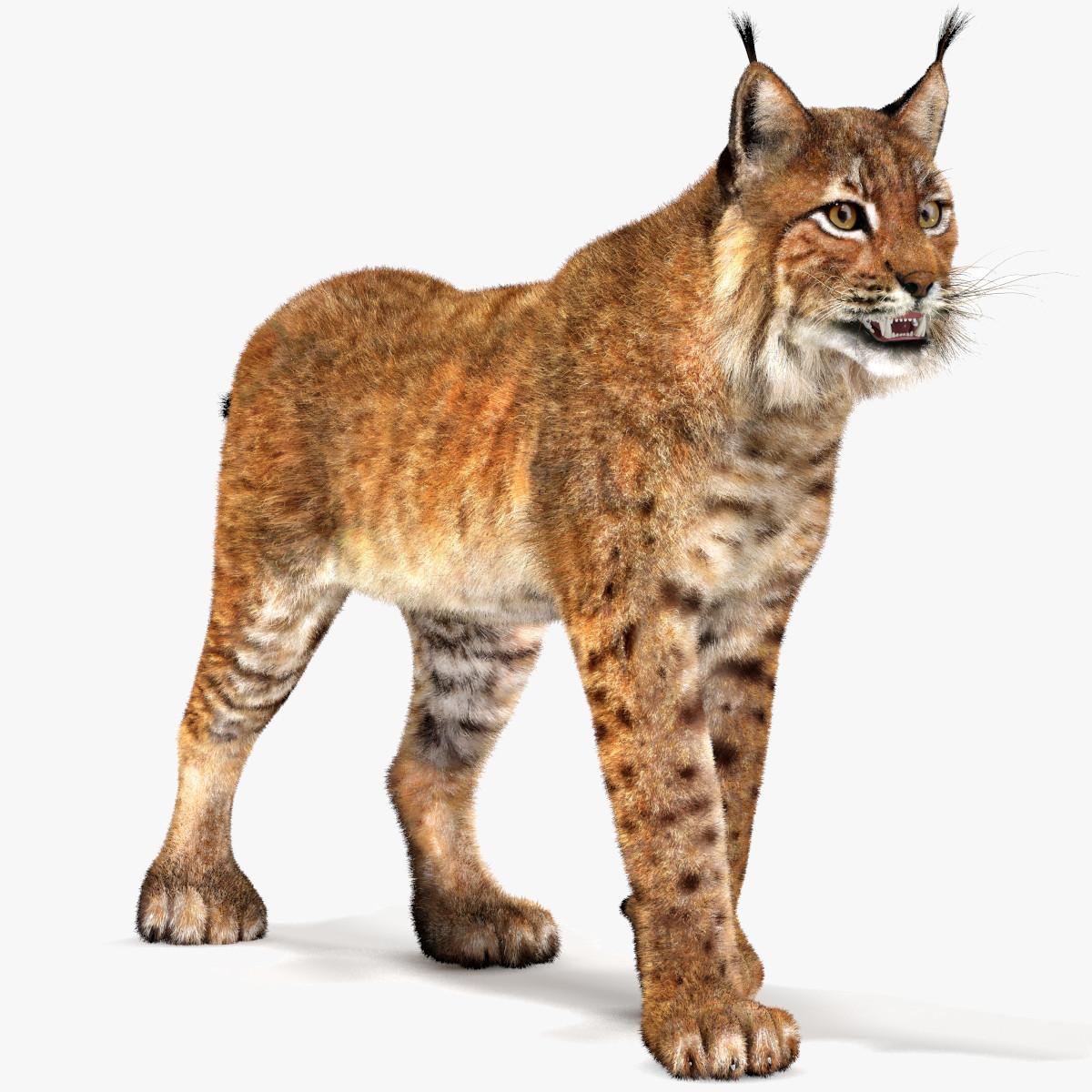 Eurasian Lynx-01.jpg