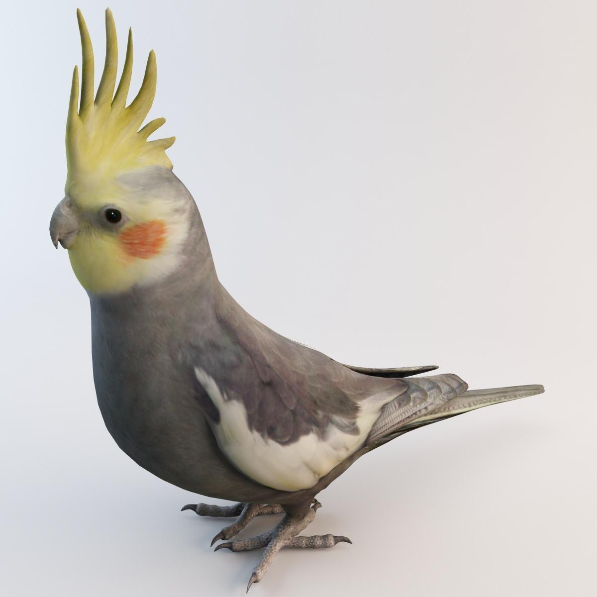 cockatiel bird parrot 3d obj