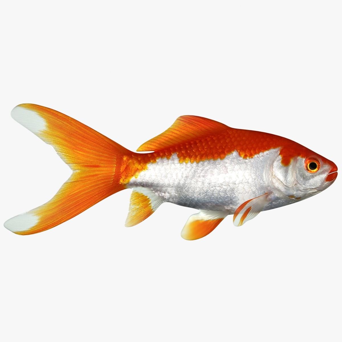 Goldfish_2_Rr-01 - Copy.jpg