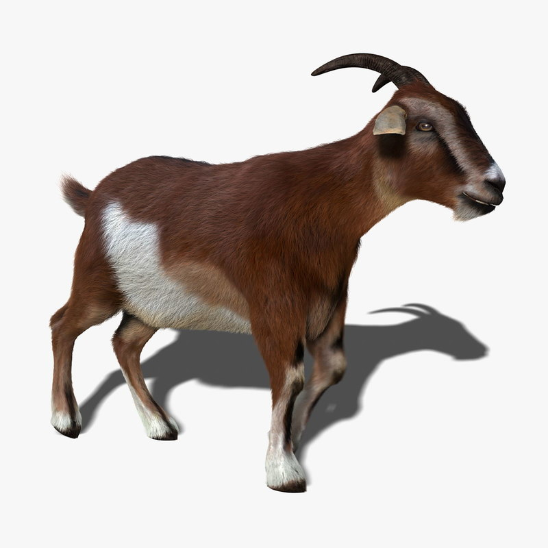 chevon quality derived from goat capra Factors affecting goat meat production and quality  that is derived from weaned  goat kids ( babiker, el khider, & shafie, 1990sheridan et al  capra hircus is  the common domestic goat while capra falconeri is the markhor.