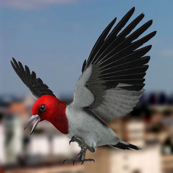 Melanerpes Erythrocephalus 'Red-headed Woodpecker' 3D Models