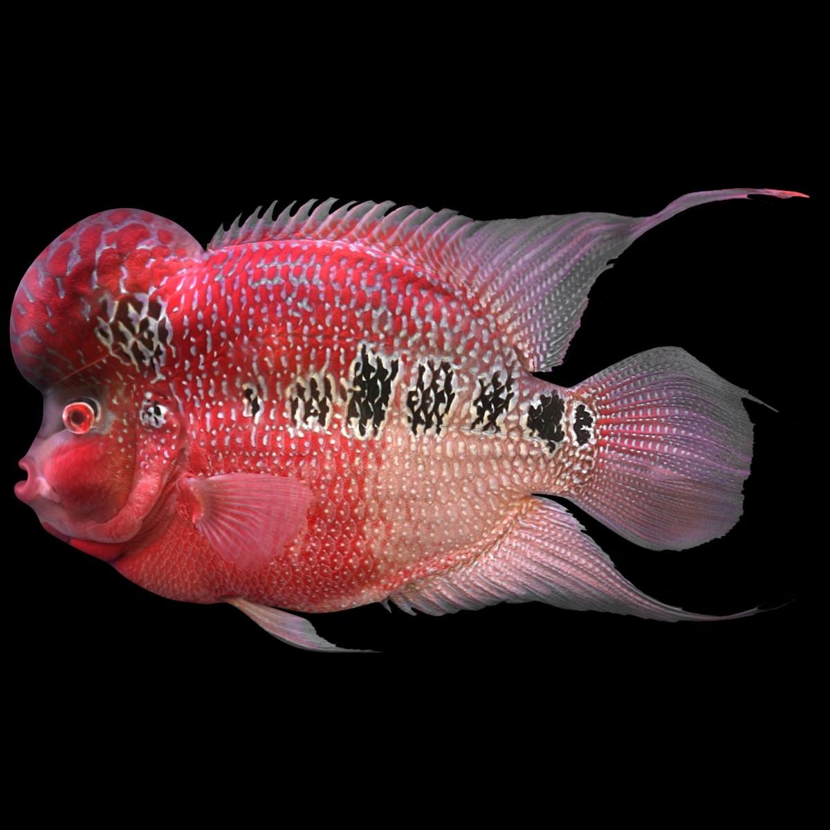 flowerhorn fish 3d model