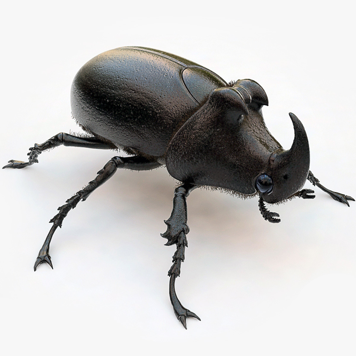 Rhinoceros_Beetle_00.jpg