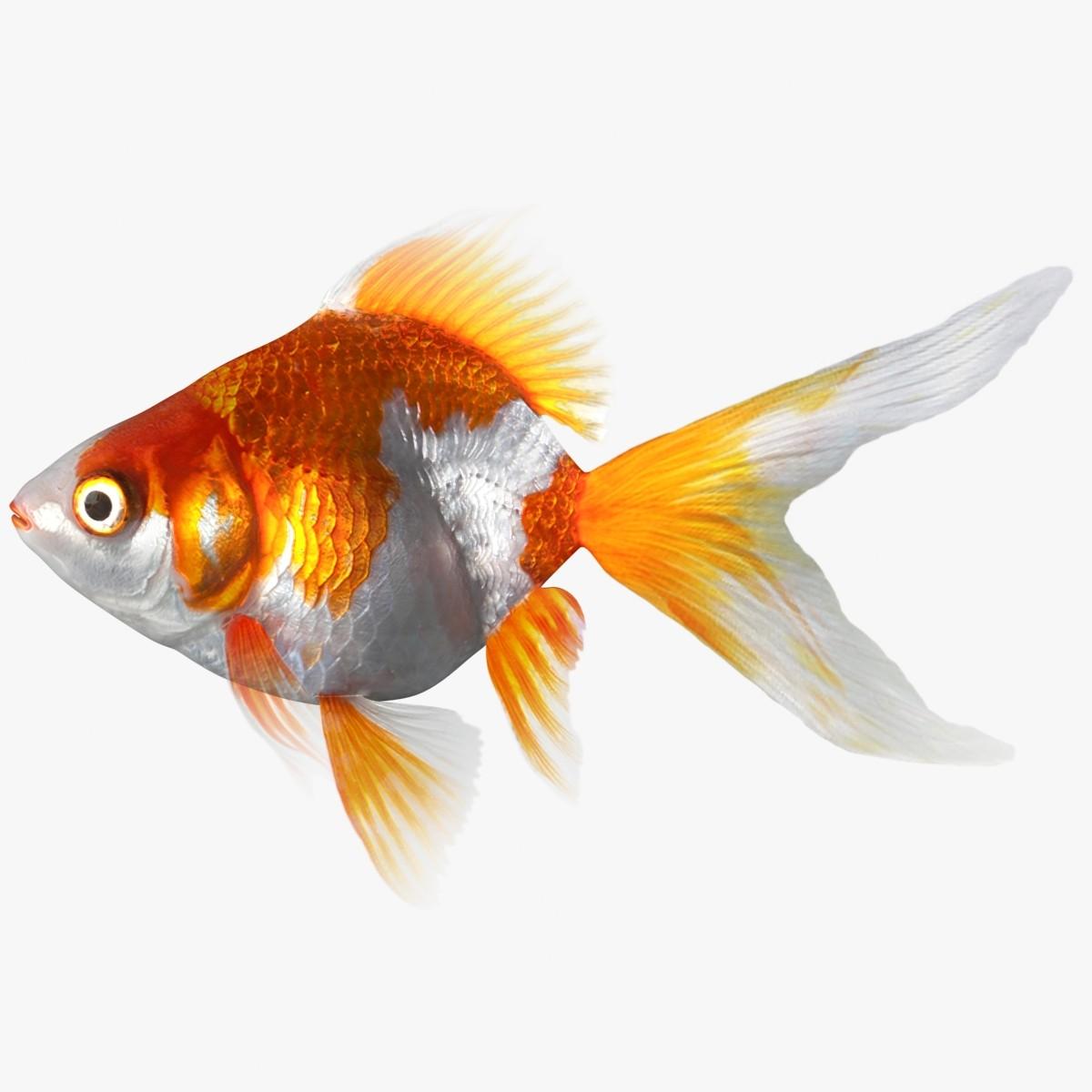 Ryukin : 3d ryukin goldfish