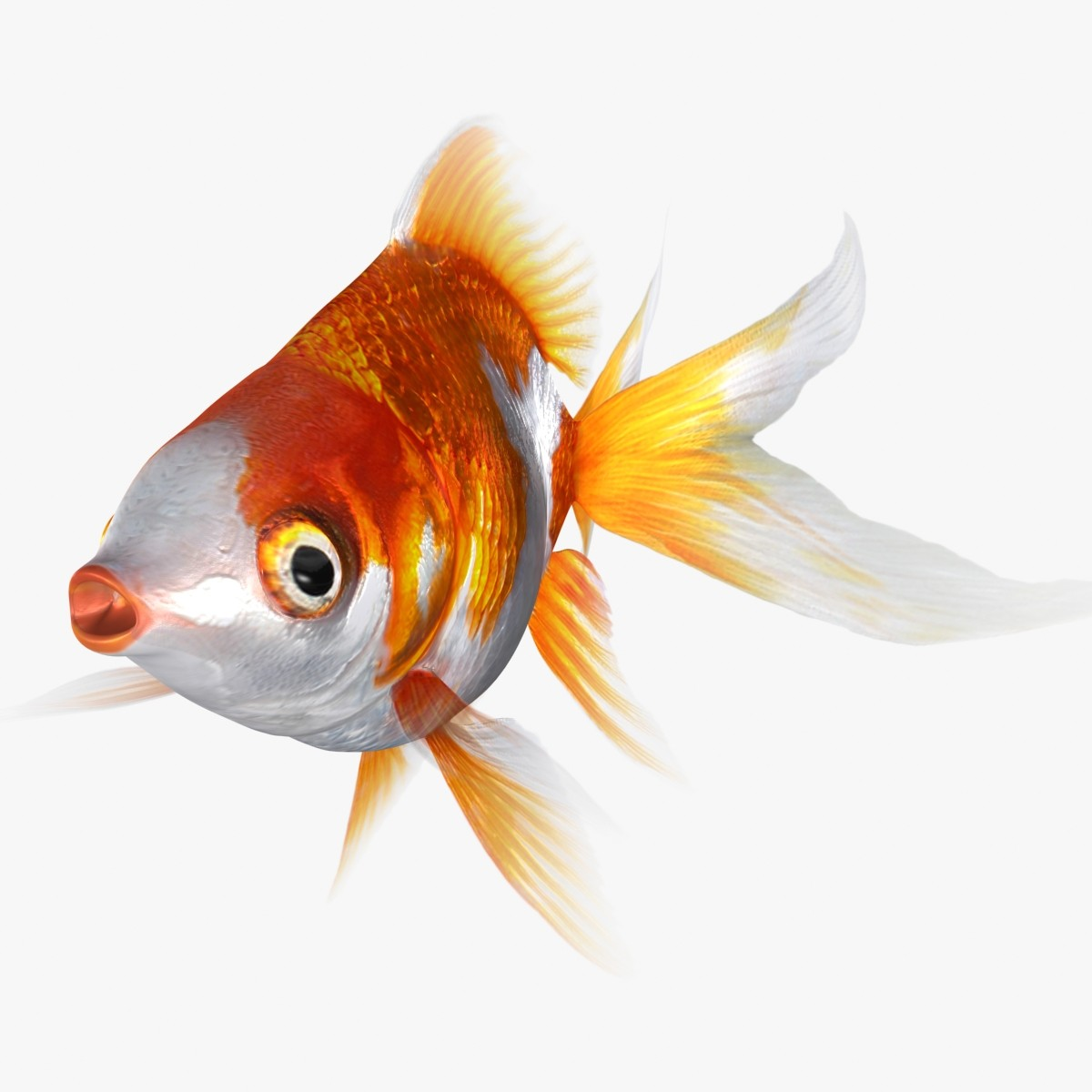 RyukinGoldFish-ani_Rr-01.jpg