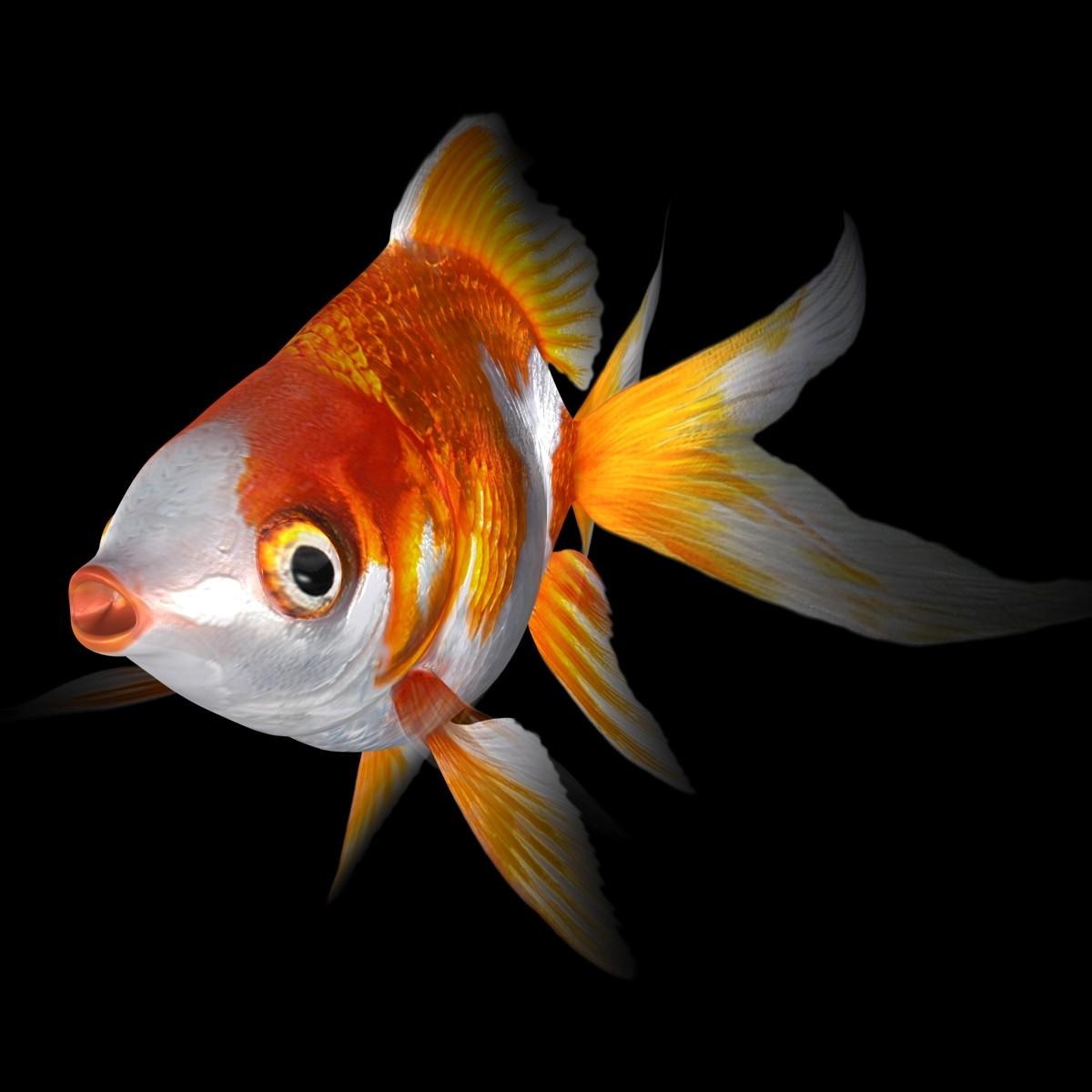 RyukinGoldFish-ani_Rr-01-b.jpg