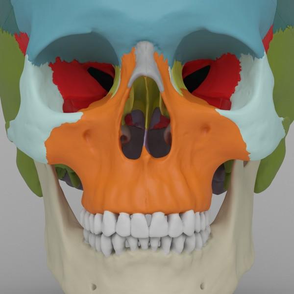 Human Skull - Didactic Version 3D Models
