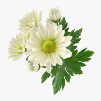 Chrysanthemum 3D models