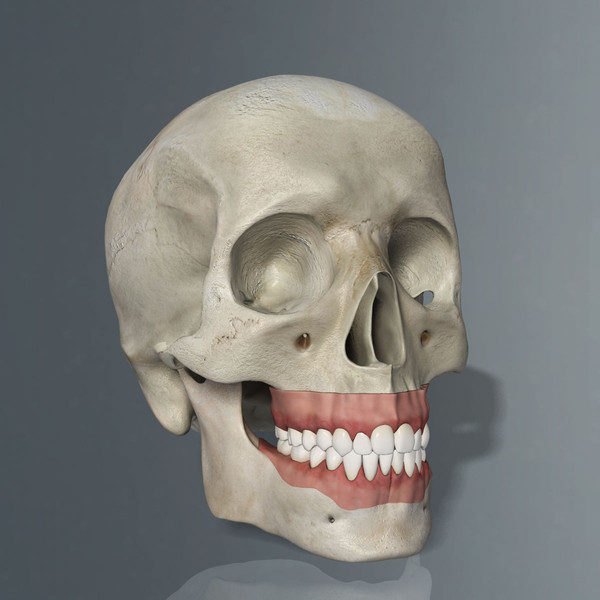 Human Skull and Teeth 3D Models