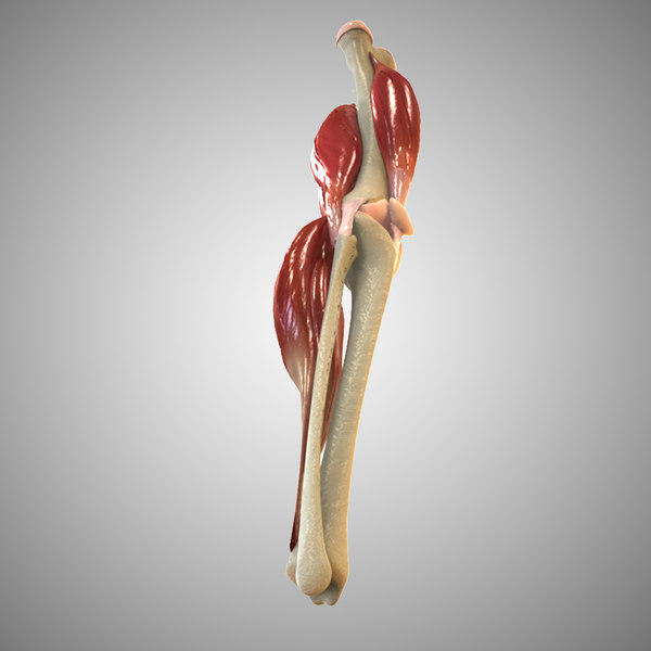 Knee Joint Anatomy 3D Models