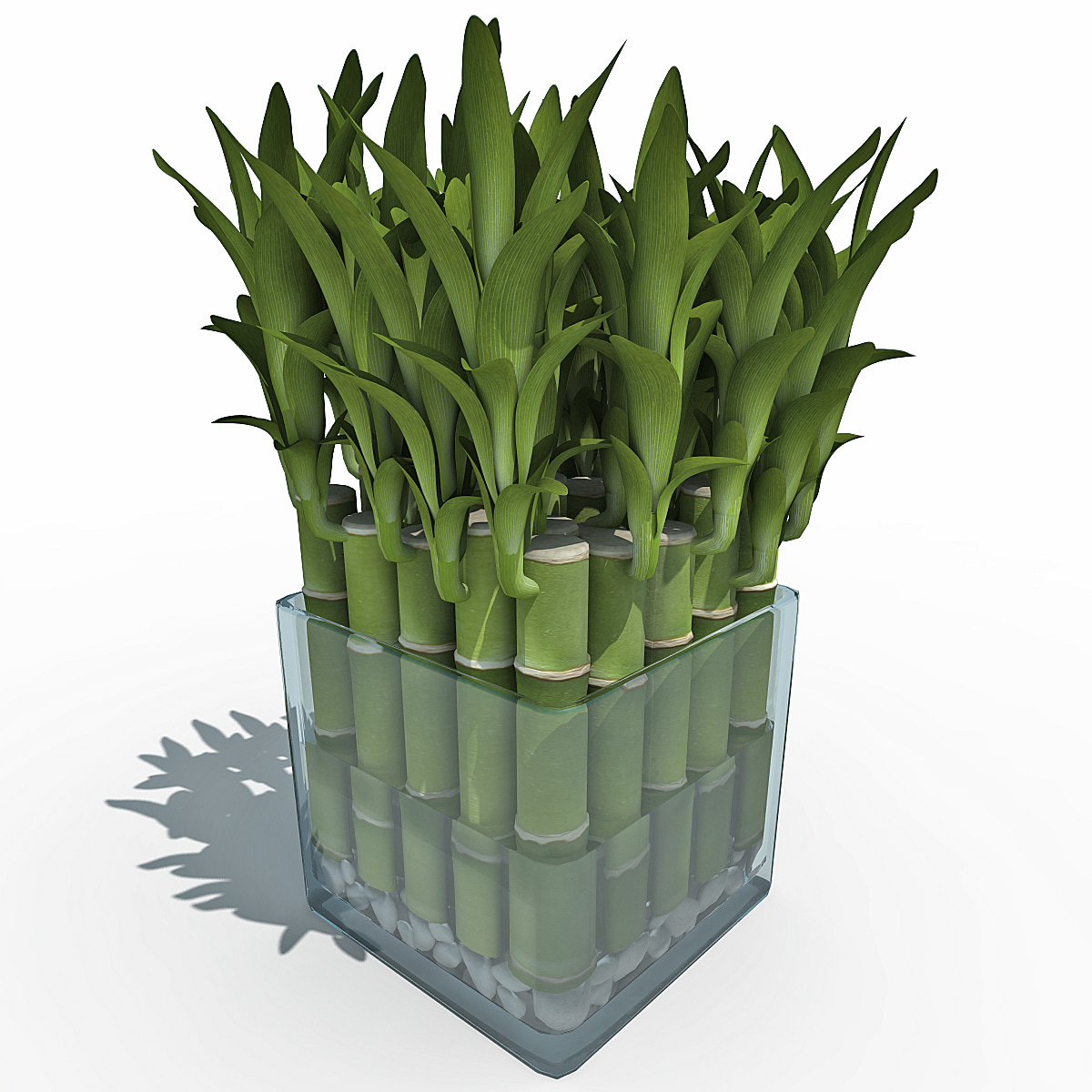 Bamboo Plant On Table: 3d Model Lucky Bamboo