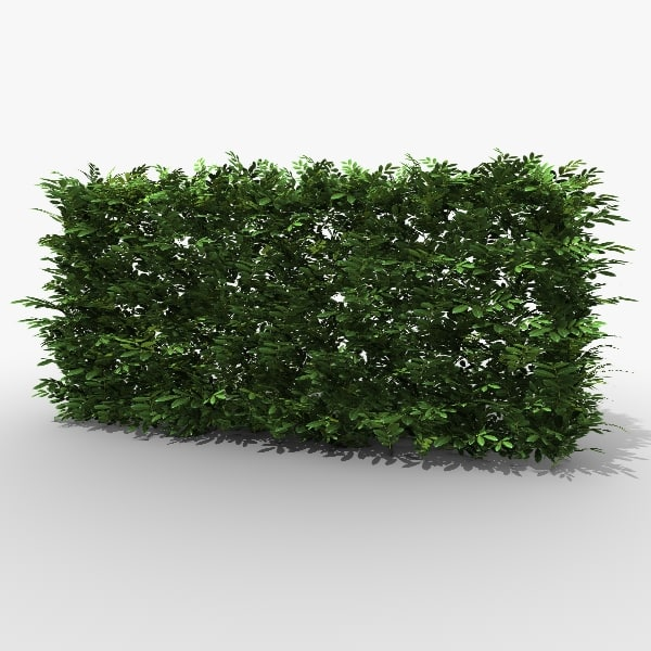 Common Laurel Hedge