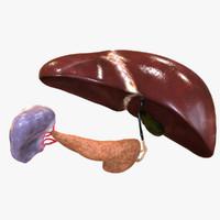 endocrine system 3D models