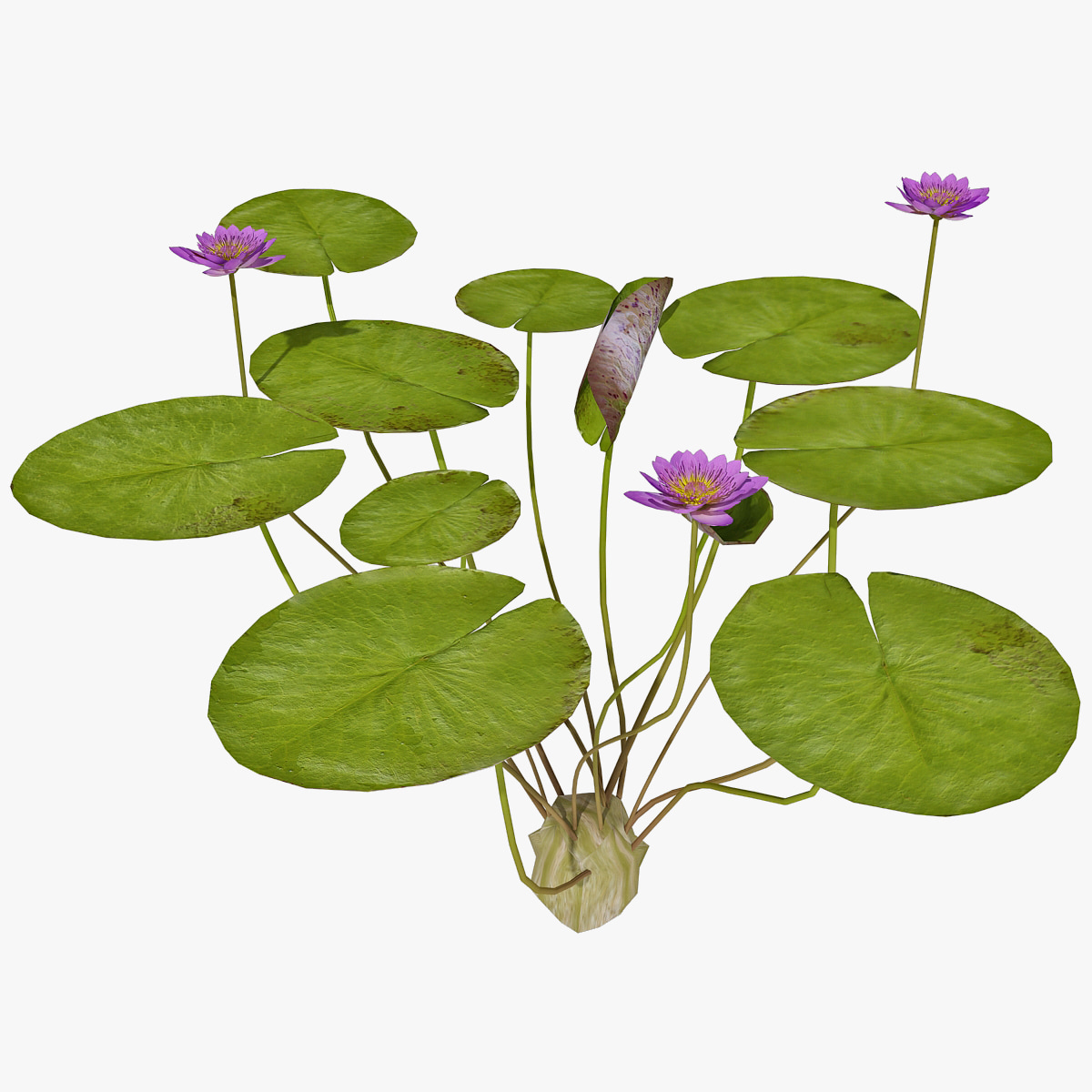 146304_Water_Lily_2_000.jpg
