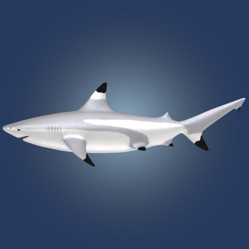 Blacktip-shark-Rr-02.jpg