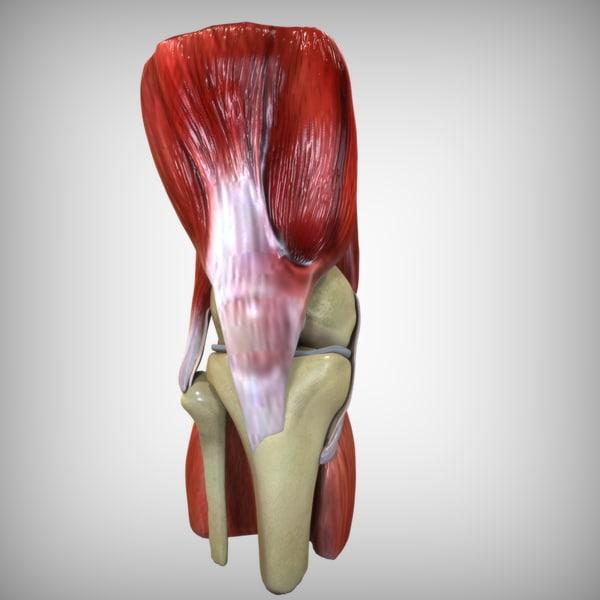 Knee Anatomy 3D Models