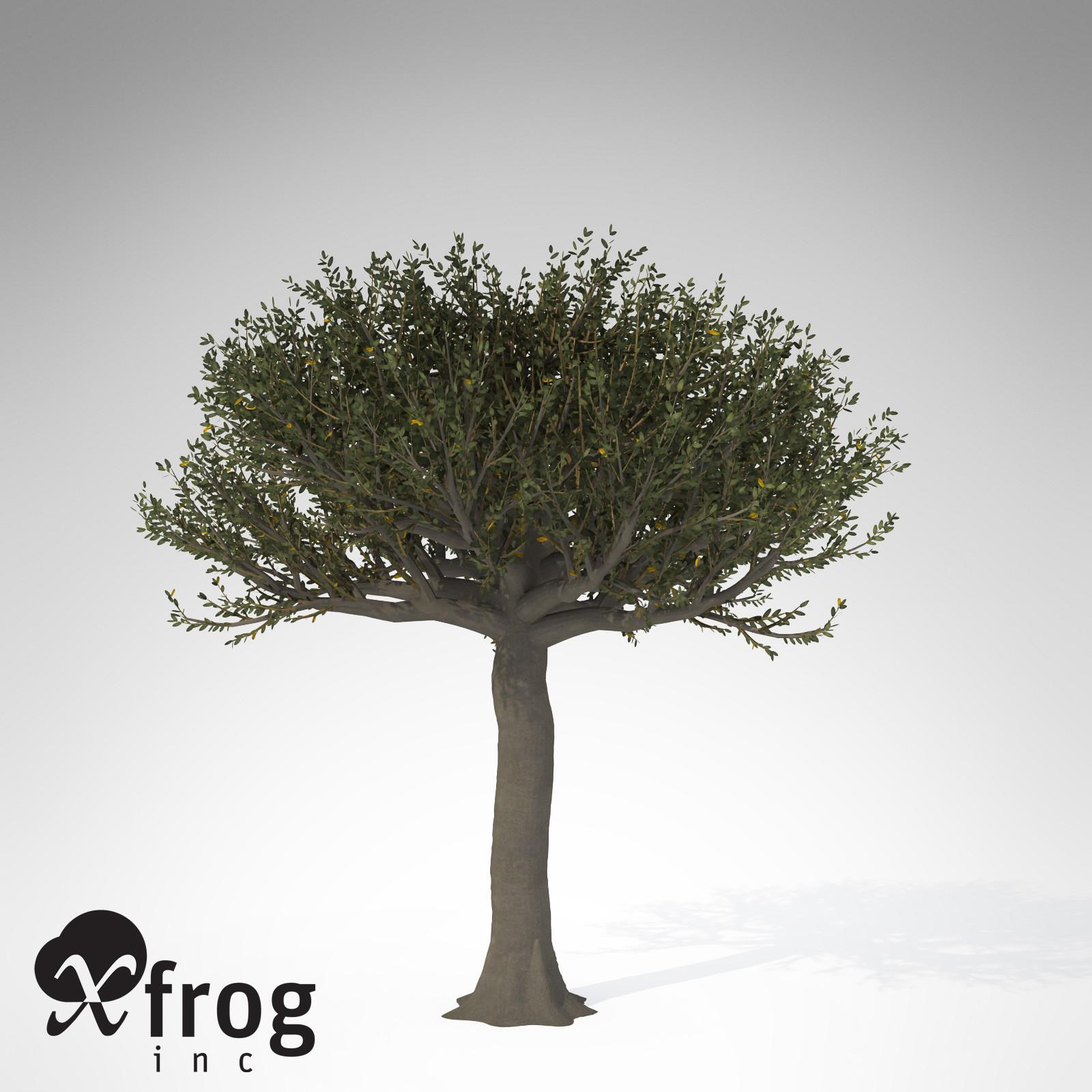XfrogPlants Forest Sandpaper Fig