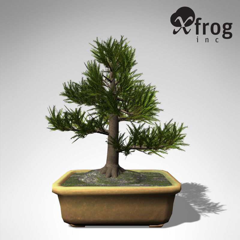 XfrogPlants Bonsai Japanese Cedar
