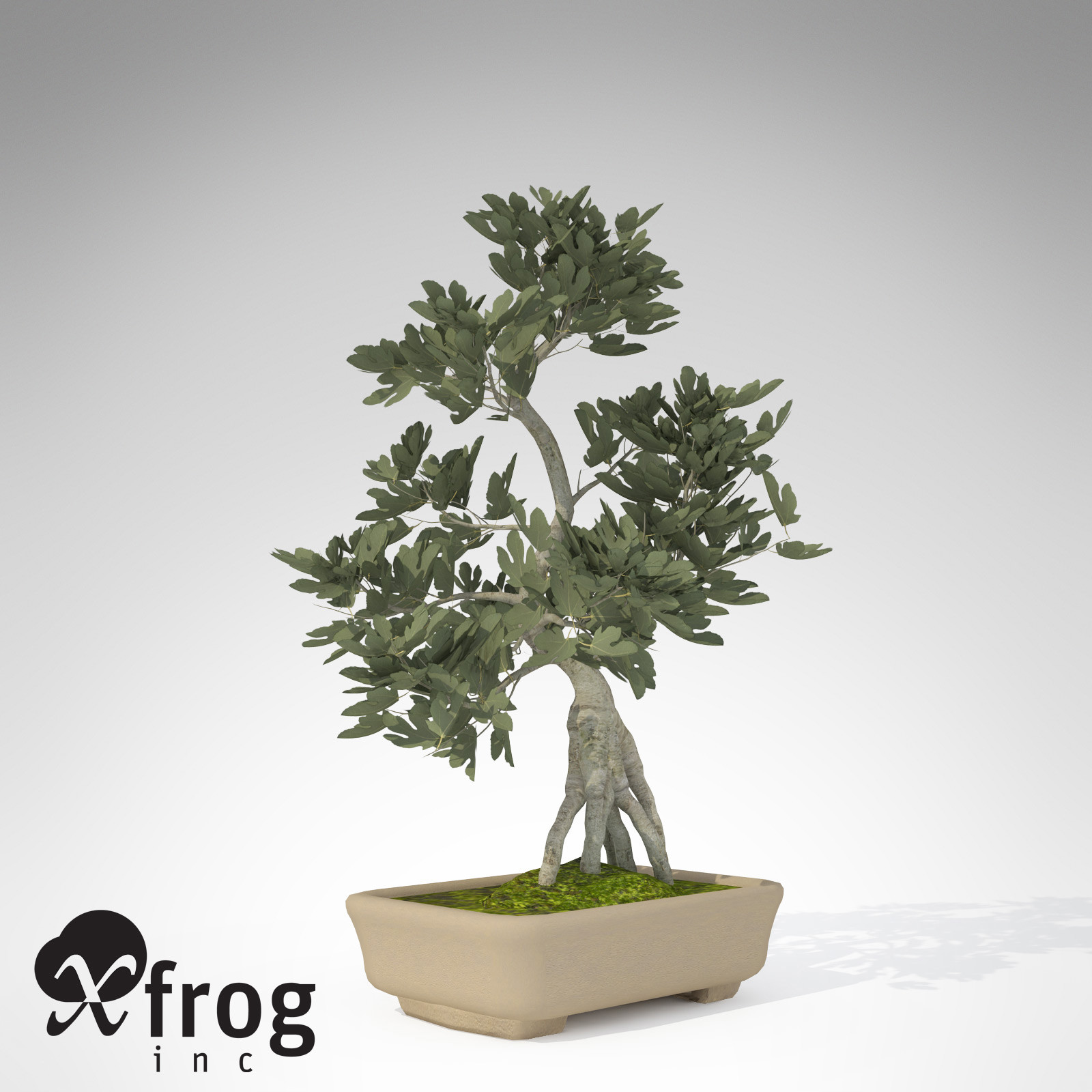 XfrogPlants Bonsai Fig Tree