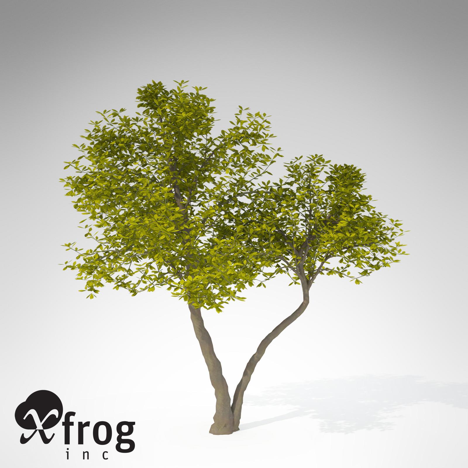 XfrogPlants Umbrella Magnolia