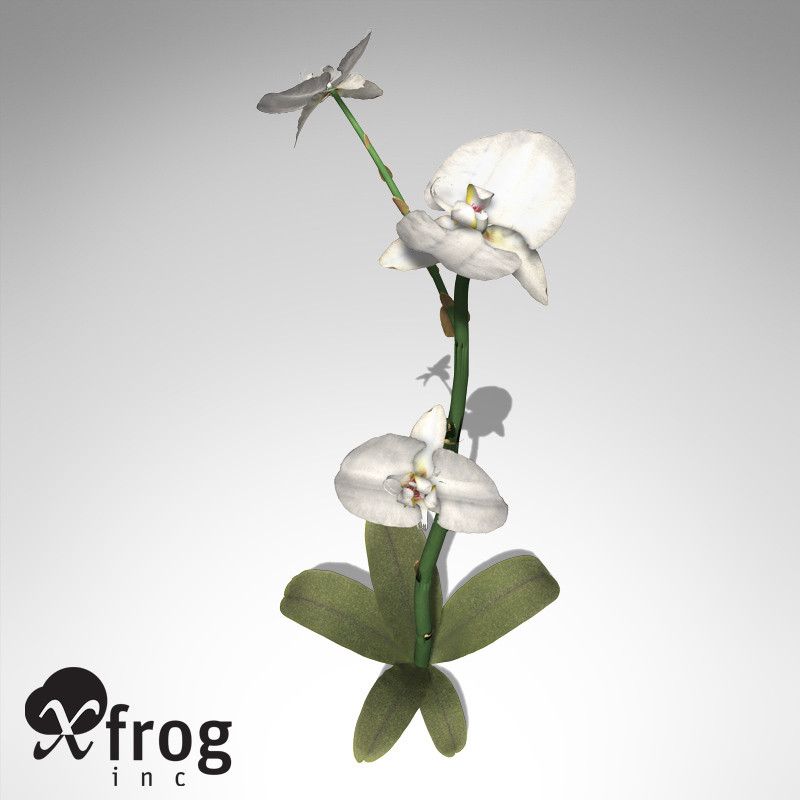 XfrogPlants Moth Orchid