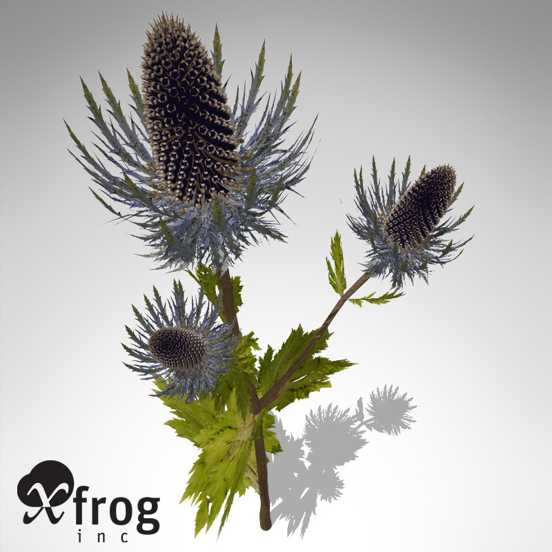 XfrogPlants Sea Holly