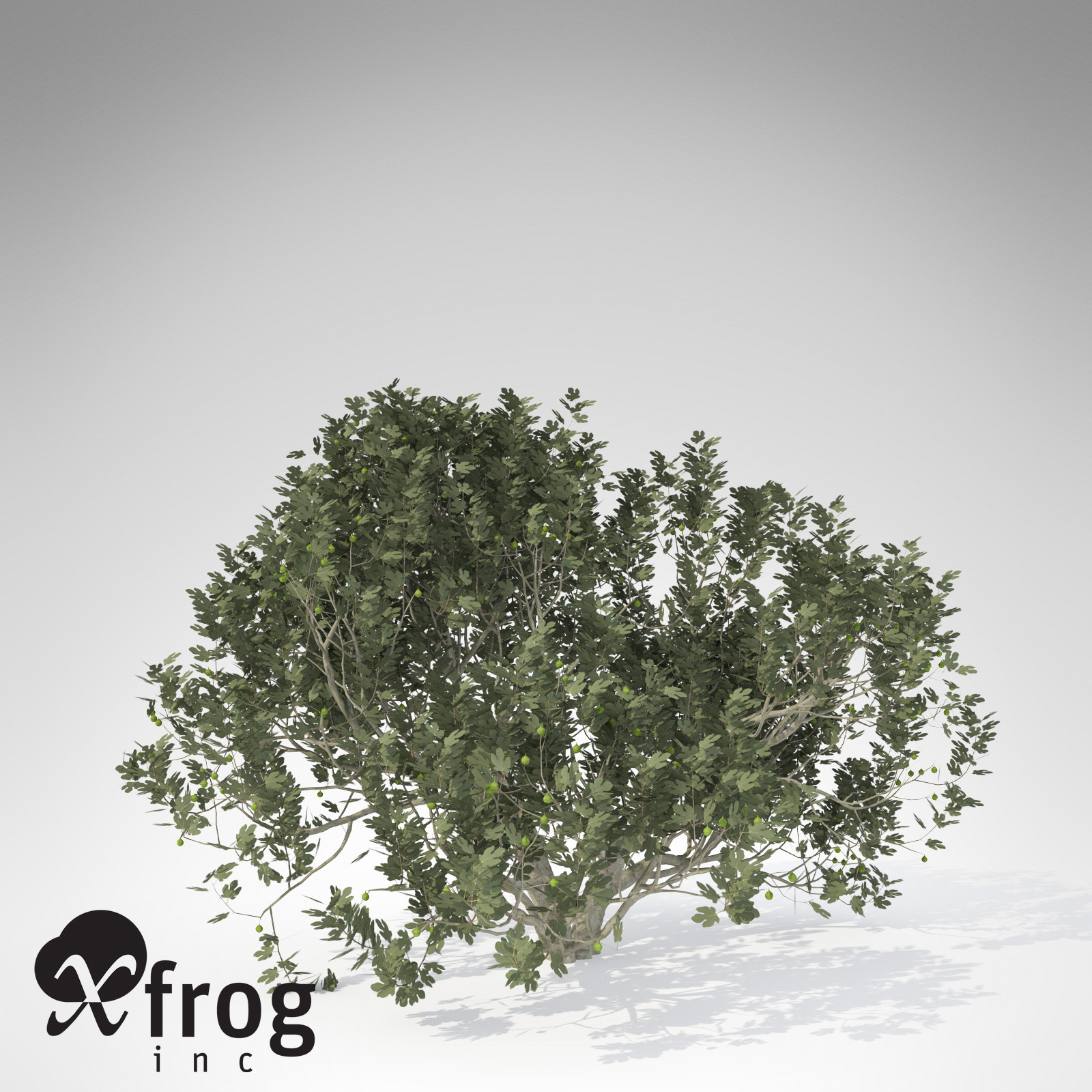 XfrogPlants Fig Tree