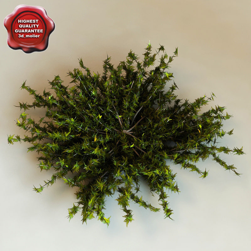 Juniperus Virginiana 'Silver Spreader'