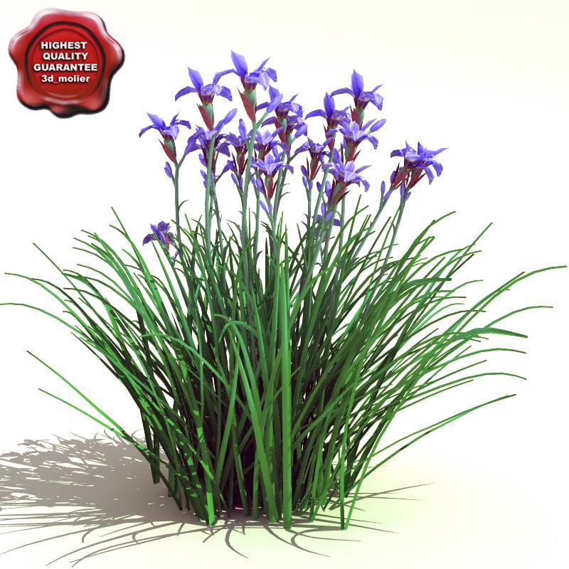 Iris_sibirica_0.jpg