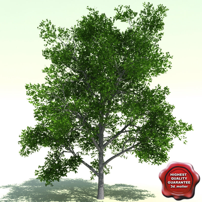 Quercus_Palustris_0.jpg