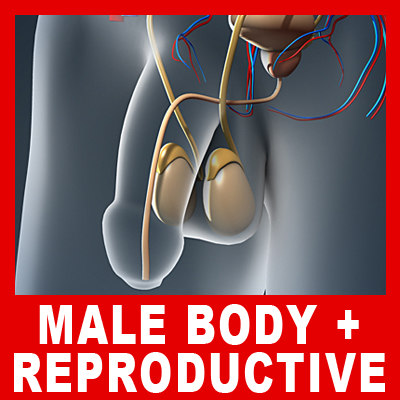 Male Body, Urinary, Endocrine & Reproductive Systems (No Textures) 3D Models