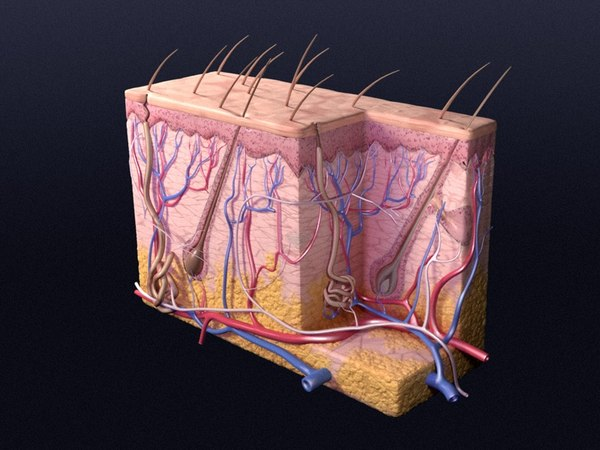 Skin_Cutaneous Receptors V2 Texture Maps