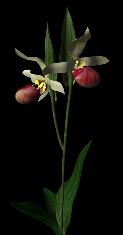 Showy Lady's Slipper.jpg