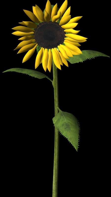 Sunflower maya