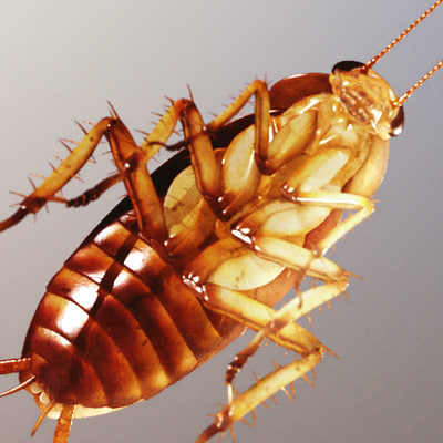 american cockroach 3D Models