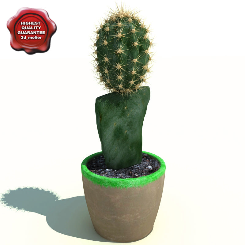 Cactus Gymnocalycium mihanovichii friedrichii