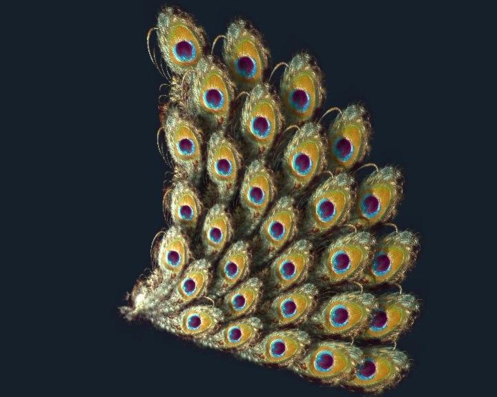 peacock tail.zip