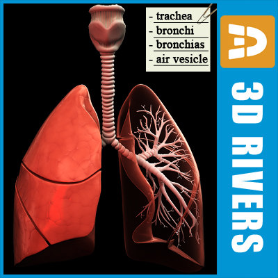 Lungs by 3DRivers 3D Models