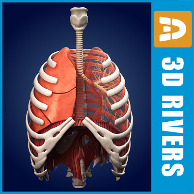 Lungs ANIMATED by 3DRivers 3D Models