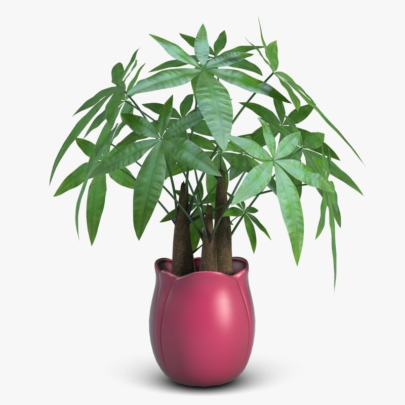 Fatsia House Plant in Vase