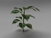 rubber plant 3D models