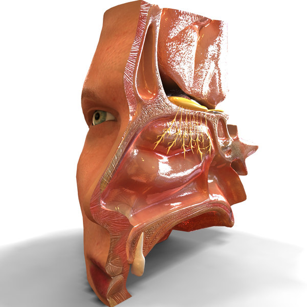 Nose Anatomy 3D Models