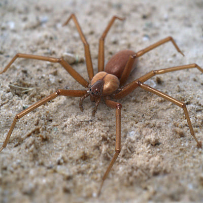 Brown Recluse Spider 3D Models