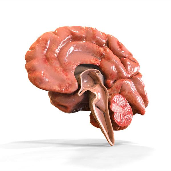 Human Brain Anatomy 3D Models