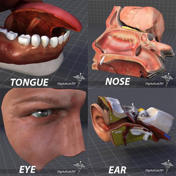 Human Four Senses Collection 3D Models