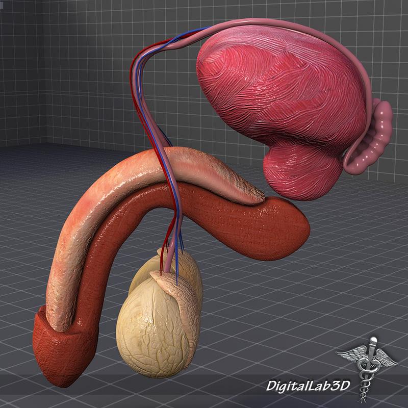 DL3D_MaleReproductiveAnatomy_2.JPG