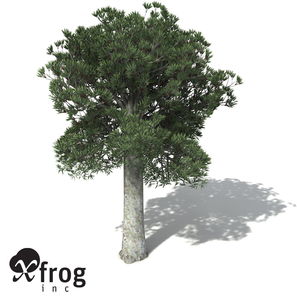 XfrogPlants White Kauri