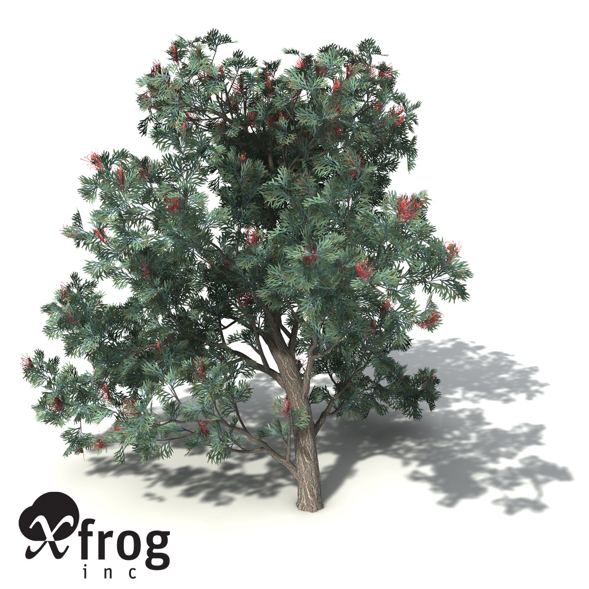 XfrogPlants Red Silky Oak